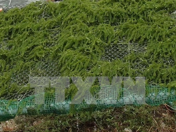 Seaweed farming – a promising industry and solution to pollution hinh anh 1