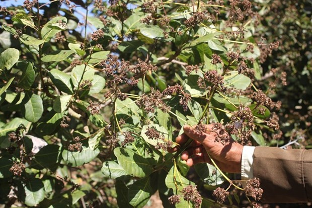 Poor crop hurts cashew farmers hinh anh 1