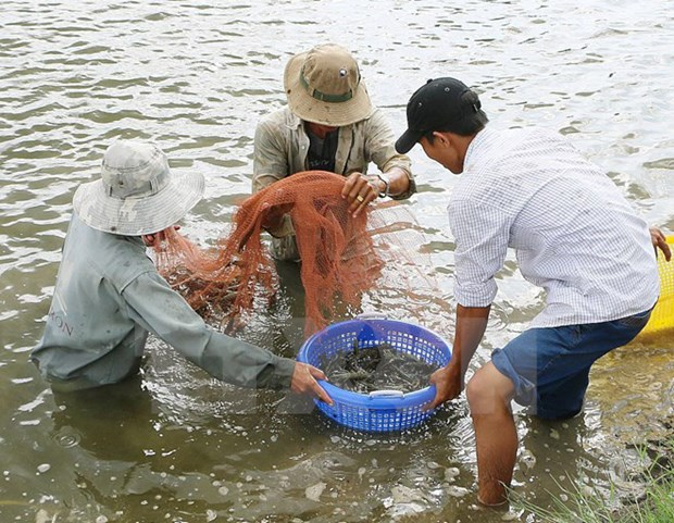Action plan drafted to develop shrimp sector hinh anh 1