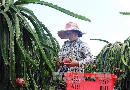Binh Thuan exports 163 tonnes of dragon fruit to UAE hinh anh 1
