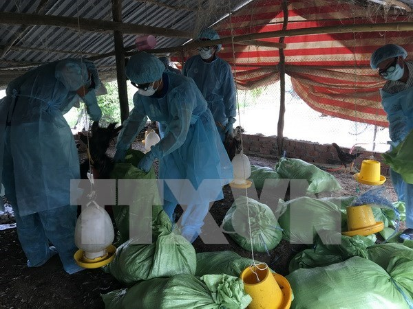 New A/H5N1 outbreak detected in Can Tho hinh anh 1