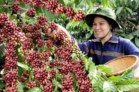 Vietnam's coffee price highest in six years hinh anh 1