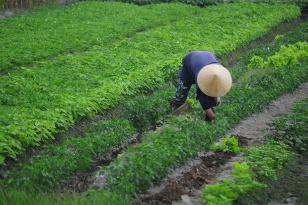 Sandy soil veggies lift farmers out of poverty hinh anh 1