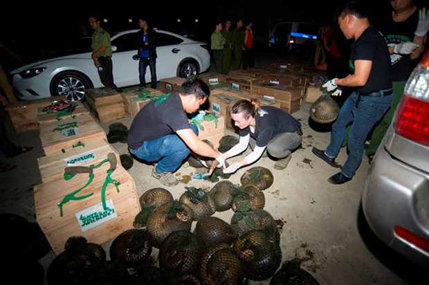 Largest-ever number of pangolins rescued in Hoa Binh province hinh anh 1