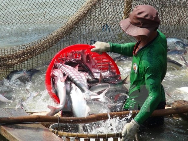 Soaring tra fish prices entice Mekong farmers hinh anh 1