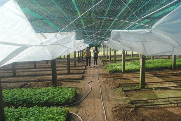 First Vietnamese ginseng seedling centre introduced hinh anh 1