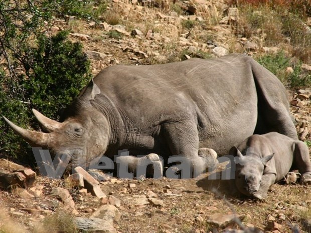 Malaysia seizes large amount of rhino horns at airport hinh anh 1