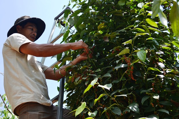 Coffee, pepper enterprises and farmers should connect well hinh anh 1