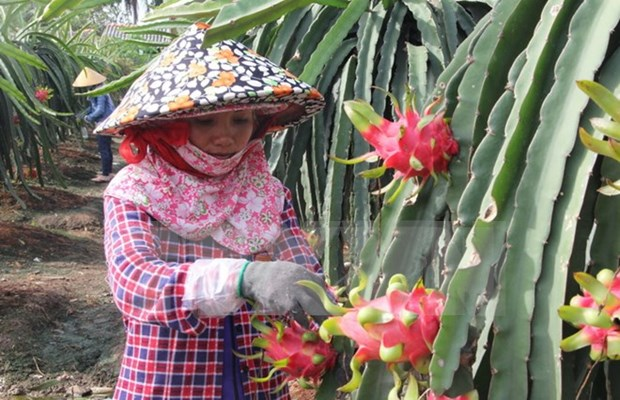 Dragon fruit farmers supported with energy-saving lights hinh anh 1