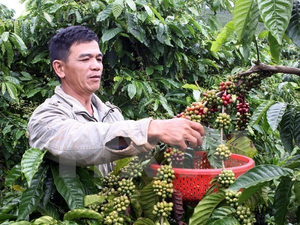 Five coffee nurseries enabled to join VnSAT project in Dak Nong hinh anh 1