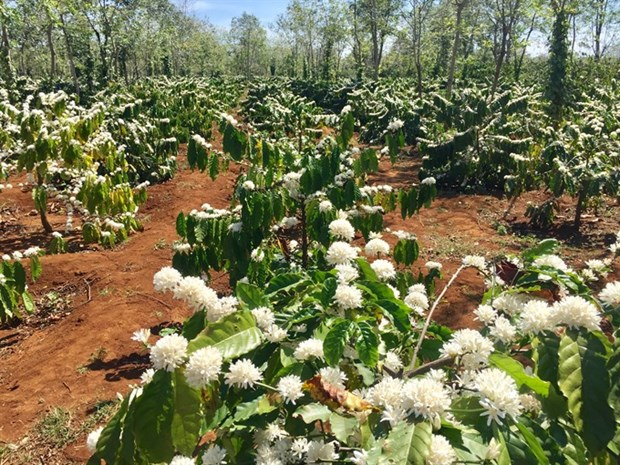 New coffee project to benefit 15,000 farmers hinh anh 1