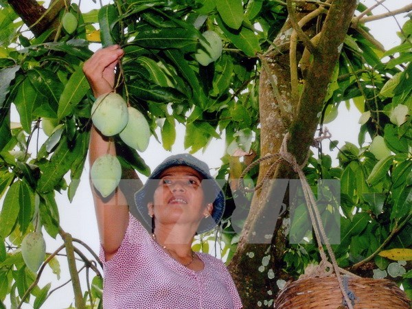 Vietnam cooperative to export mangoes to Australia hinh anh 1