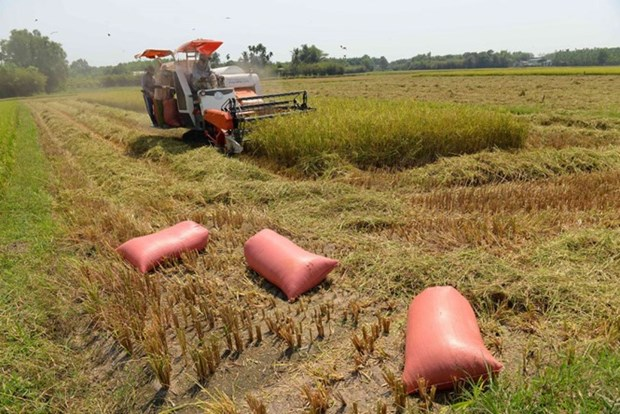 New technology ups rice value in Can Tho hinh anh 1