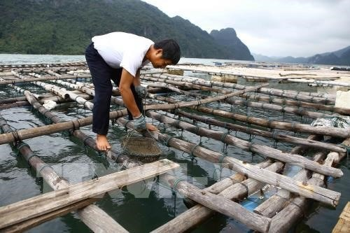 Quang Ninh authorities probe cause of oyster deaths hinh anh 1