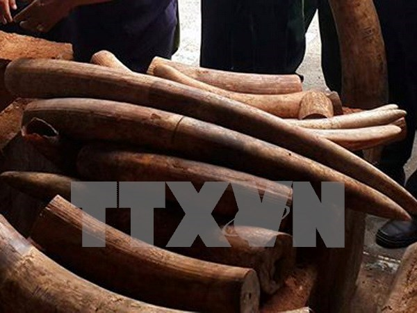 Man imprisoned for illegally transporting ivory hinh anh 1