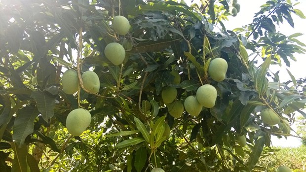 Vietnam's northern province to export mangoes to Australia hinh anh 1