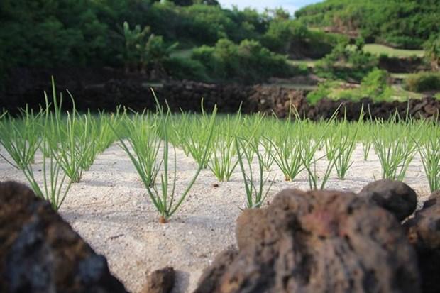 Ly Son to develop organic garlic farm hinh anh 1
