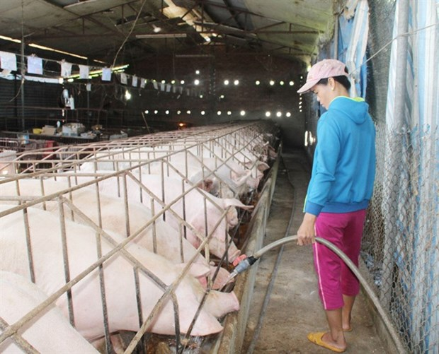 State Bank moves to aid pig farmers hinh anh 1