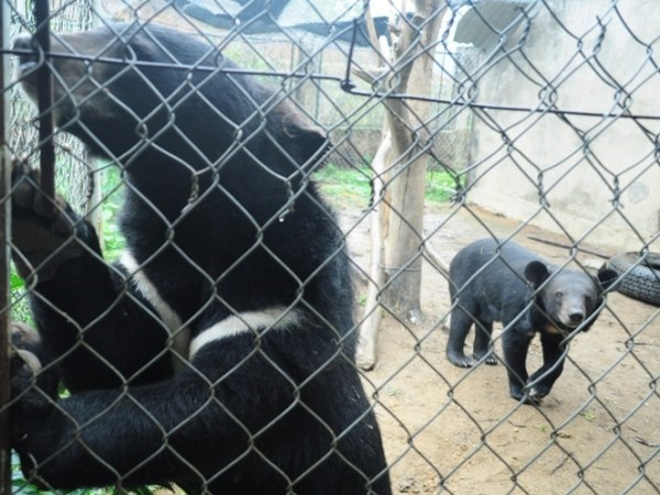 Vietnam works to end bear bile farming hinh anh 1