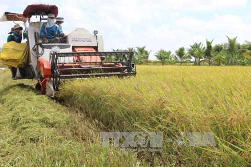 Mekong Delta rice productivity falls slightly hinh anh 1
