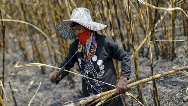 Thailand sugar production rises hinh anh 1