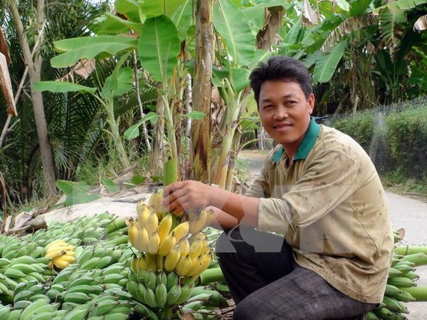 Can Tho seeks ways to export bananas to Republic of Korea hinh anh 1