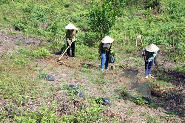 Thua Thien – Hue develops sustainable afforestation hinh anh 1