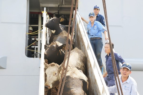 Vinamilk imports over 2,000 cows from US hinh anh 1