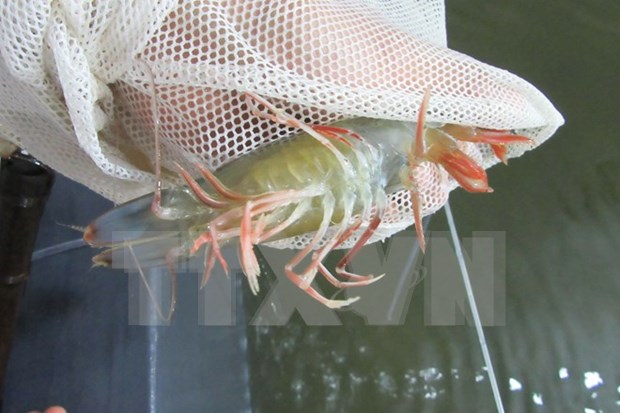 Ca Mau targets shrimp exports of 2 billion USD by 2020 hinh anh 1