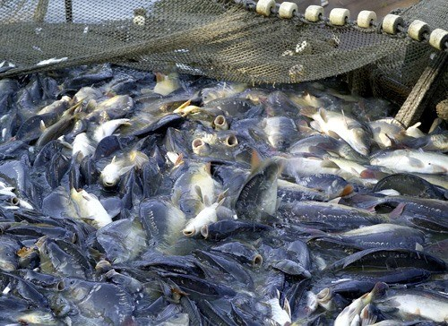 Government issues tra fish regulations hinh anh 1