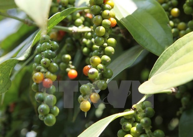 Black pepper price in Central Highlands drops strongly hinh anh 1