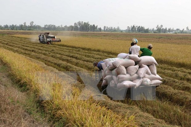 Northern provinces enjoy bumper Winter-Spring rice harvest hinh anh 1