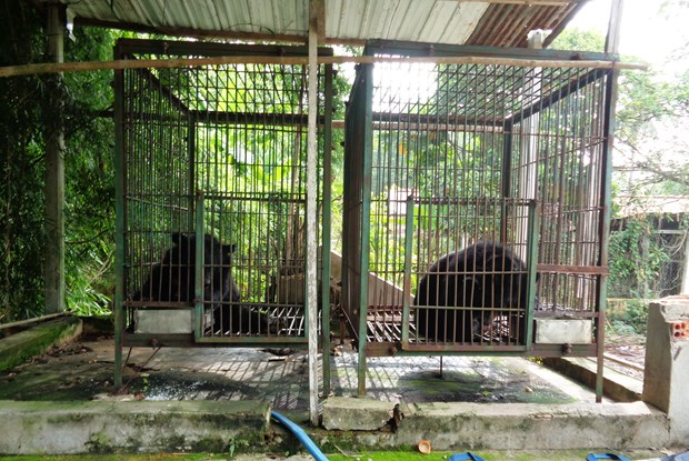 Two more Tibetan bears sent to rescue centre hinh anh 1