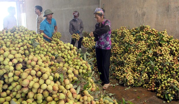 Bac Giang to export half of lychee output hinh anh 1