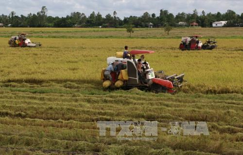 Mekong Delta's winter-spring rice output falls hinh anh 1