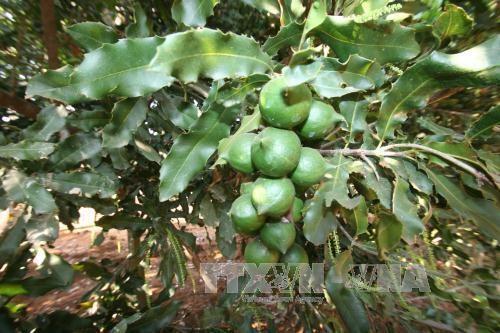 Quang Tri seeks to develop macadamia farming hinh anh 1