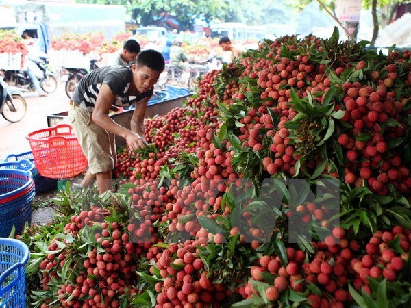 Bac Giang exports over 9,500 tonnes of lychees to China hinh anh 1