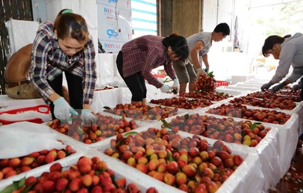 Lychees in Bac Giang sold well hinh anh 1