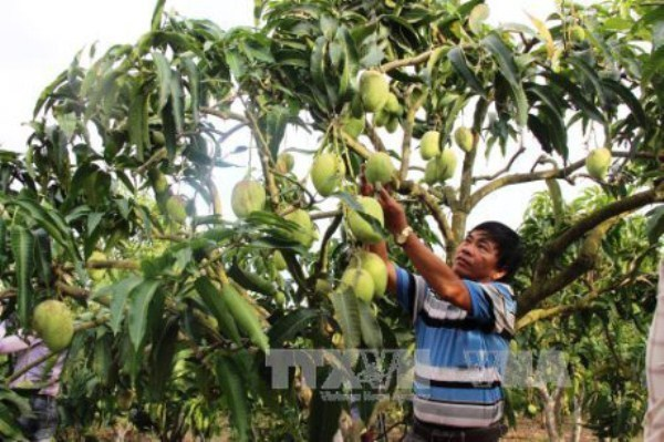 Son La mangoes irradiated for export to Australia hinh anh 1
