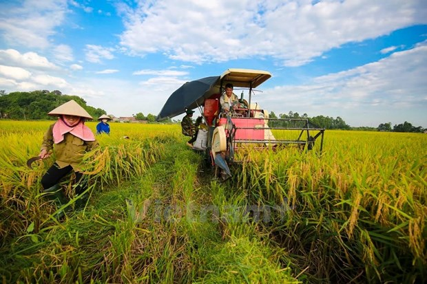 Winter-spring crop yields over 19 million tonnes of rice hinh anh 1