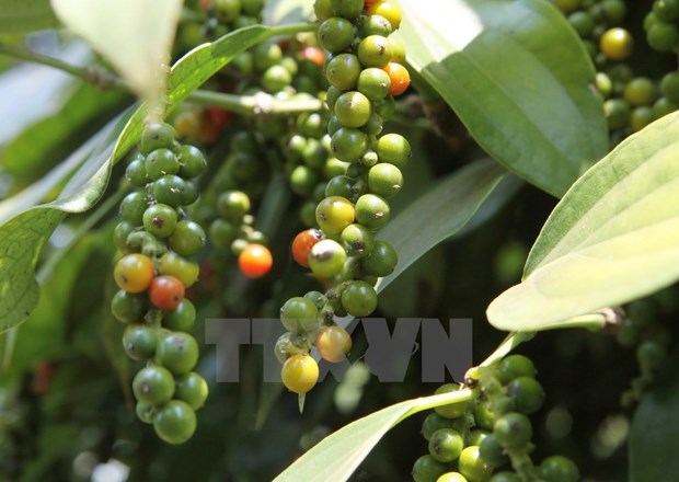 Pepper sector advised to boost clean production hinh anh 1