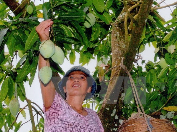 Son La-grown green mango to be shipped to Australia hinh anh 1