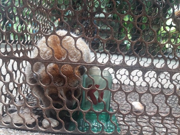 Conservation centre receives pygmy loris hinh anh 1