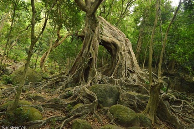 New plant species found in Son Tra Nature Reserve hinh anh 1