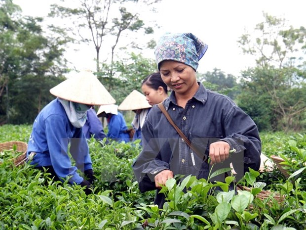 Vietnam strives to earn 250 million USD from tea exports in 2017 hinh anh 1
