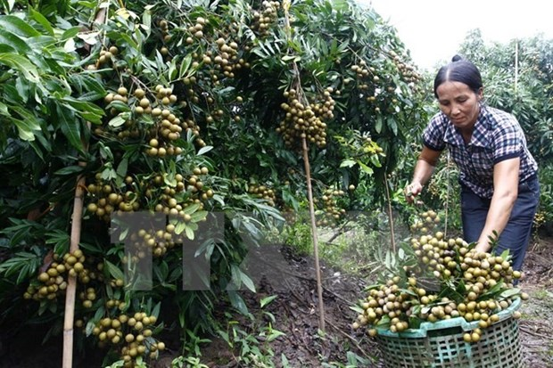Hung Yen province's longan production down, price up hinh anh 1