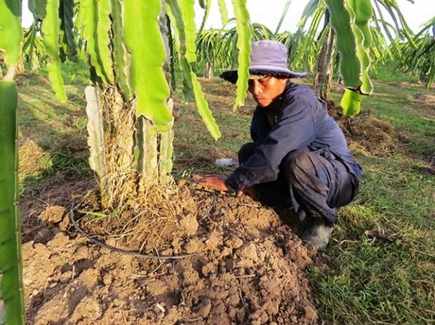 Long An develops high-tech dragon fruit area hinh anh 1