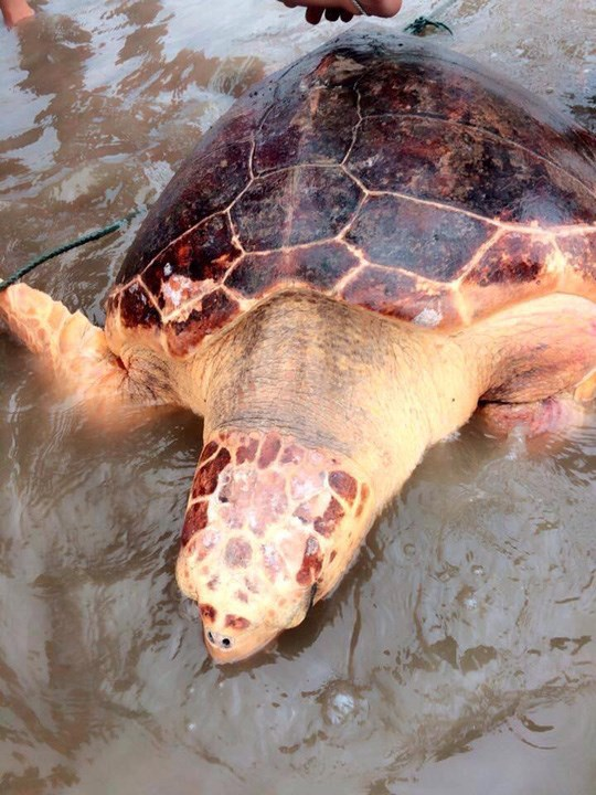 Quang Tri: Turtle at risk of extinction released into wild hinh anh 1