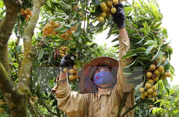 Bac Giang posts best lychee crop in 60 years hinh anh 1