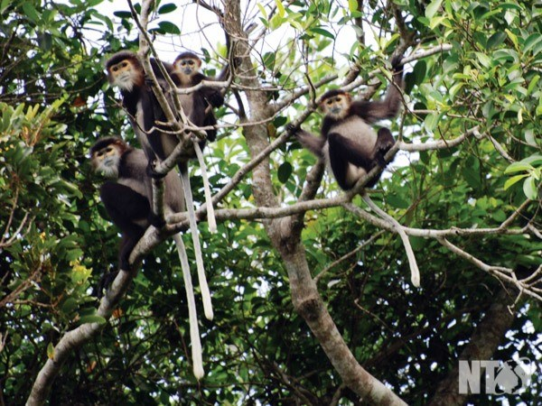 Dong Nai province moves to protect black-shanked douc langurs hinh anh 1